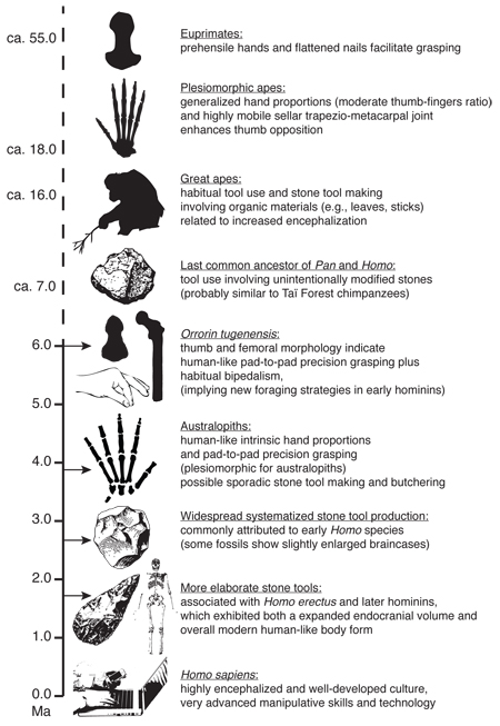 Timeline showing major evolutionary advents in human manipulativa capbilities