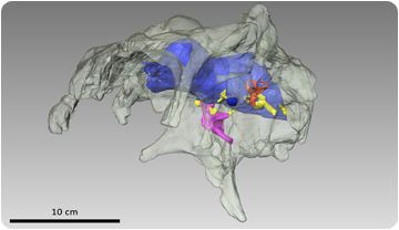 3D reconstruction of the skull and brain of Arenysaurus ardevoli