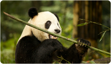 Image of an extant giant panda.