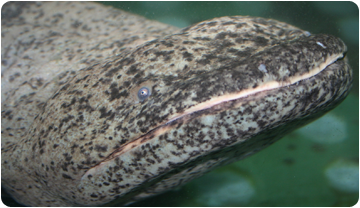The Chinese giant salamander (Andrias davidianus) is the largest amphibian in the world (Photo: Egon Heiss)