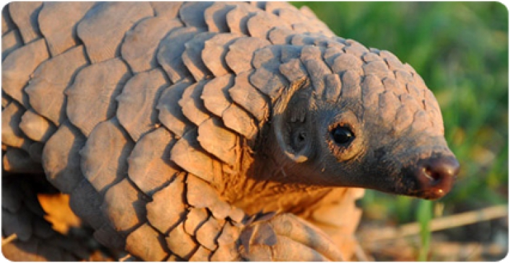 First known record of fossil pangolins in the Iberian Peninsula