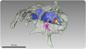 A glimpse into the brain of a dinosaur using 3D technology
