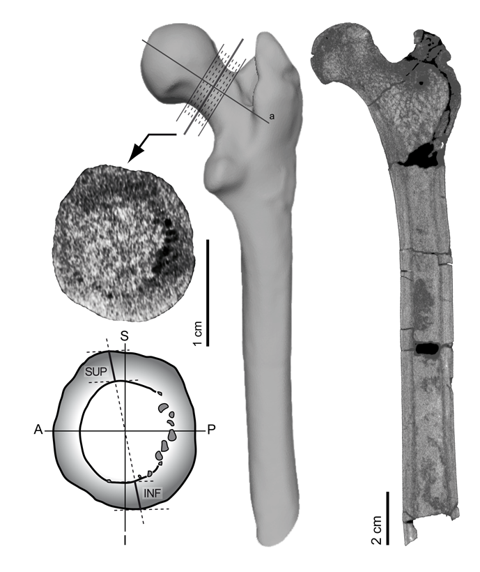 Femur of Hispanopithecus laietanus, where the distribution of the cortical bone thickness in the femoral neck is shown.
