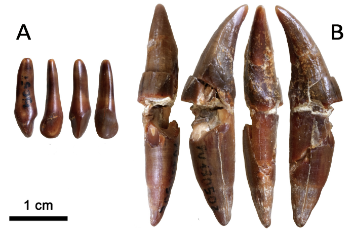 Different views of cf. Macaca sp. tooth (A) and M.pentelicus (B) found in Moncucco Torinese site