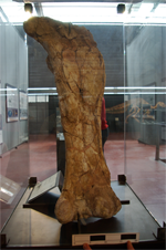 Femur of Ampelosaurus ataci, one of the sauropods that have been studied.