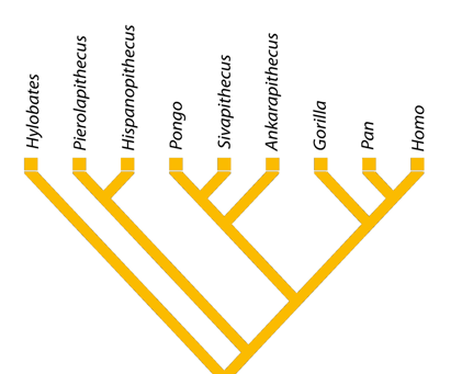 Phylogeny of hominids, following the research published in JHE. Miriam Pérez de los Ríos. ICP