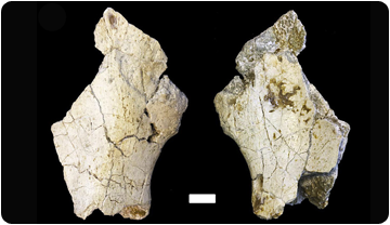 Dorsomedial and ventrolateral views of the iliac fragment of Pau. Scale bars equals 1 cm.