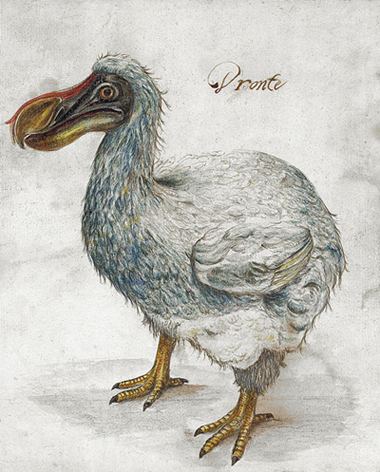 A drawing of a dodo. 17th Century (Wikimedia commons)