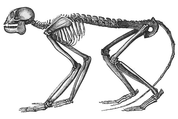 Reconstruction of the skeleton of Mesopithecus