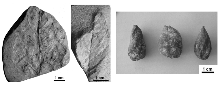 Some fossil remains recently found in Can Llobateres (left) and the fossi figs fòssils recovered last century.