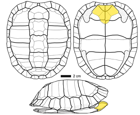 Reconstruction of the shell of Ptychogaster (Temnoclemmys) batalleri. In yellow, its characteristic thick epiplastral lip