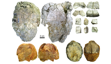The article includes the description of new remains of Ptychogaster (Temnoclemmys) batalleri found in various sites of the Vallès-Penedès basin