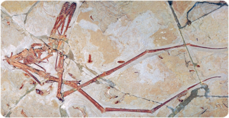 Mimodactylus, a new pterosaur from the former Afro-Arabian continent