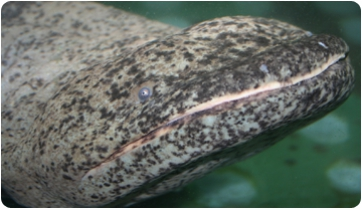 How the world's largest salamander feed? 3D technology at the service of ecology