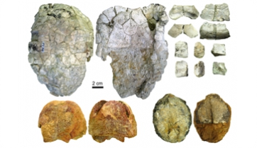 Disentangling the taxonomy of the Vallès-Penedès turtle Ptychogaster